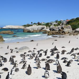 South Africa, Cape Town, Penguins, Beach
